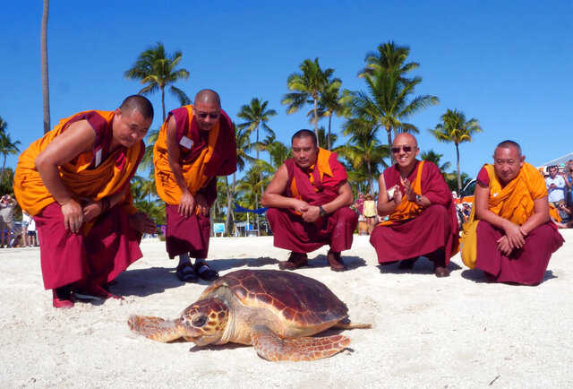 In this photo provided by the Florida Keys News Bureau, Tibetan monks visiting the Florida Keys from the Drepung Gomang Monastery in southern India, watch a loggerhead sea turtle named