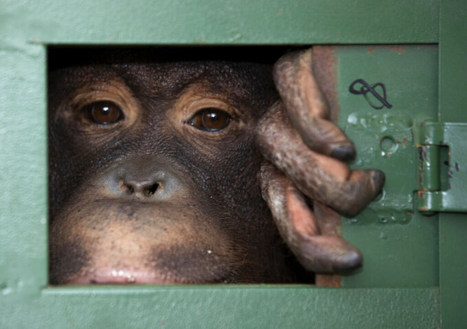 FILE - In this Dec. 20, 2019, file photo, Cola, 10-year-old female orangutan waits in a cage to be sent back to Indonesia at a Suvarnabhumi Airport in a collaborative effort to combat the illicit wildlife trade in Bangkok, Thailand. Thailand is ramping up efforts to curb trade in wildlife to help reduce the risk of future pandemics, officials said Thursday, May 27, 2021, though it was unclear whether that would mean an end to all sales of exotic species in the wildlife trafficking hub. (AP Photo/Sakchai Lalit, File)