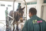 A mule is treated at the SPANA shelter in Marrakech, Morocco, Wednesday, July 22, 2020. Morocco's restrictions to counter the coronavirus pandemic have taken a toll on the carriage horses in the tourist mecca of Marrakech. Some owners struggle to feed them, and an animal protection group says hundreds of Morocco's horses and donkeys face starvation amid the collapsing tourism industry. (AP Photo/Mosa'ab Elshamy)