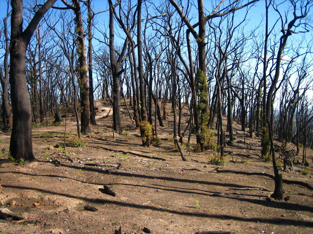 This 2009 photo provided by Sebastian Pfautsch shows a eucalyptus forest that burned during a 2009 wildfire in Victoria, Australia. As of early 2020, fires have consumed some 40,000 square miles of Australia this fire season and scientists say the effects on the nation's forests could be long-lasting. (Sebastian Pfautsch via AP)