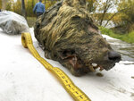 In this Sept. 6, 2018, photo, the head of an Ice Age wolf is seen after found during an expedition of the Mammoth Fauna Study Department at the Academy of Sciences of Yakutia near Belaya Gora, Abyysky region of Sakha Republic, Russia. Experts believe the wolf roamed the earth about 40,000 years ago, but thanks to Siberia's frozen permafrost its brain, fur, tissues and even its tongue have been perfectly preserved, as scientific investigations are underway after it was found in August 2018. (Albert Protopopov/Mammoth Fauna Study Department at the Academy of Sciences of Yakutia via AP)