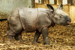 An endangered Indian rhinoceros cub stand in its enclosure in the Zoo in Wroclaw, Poland, Sunday, Jan. 10, 2021. The cub, born on Jan. 6, 2021, is the first Indian rhinoceros birth in the zoo's 155-year history, the zoo said. ( Zoo Wrocław via AP)