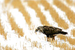 FILE - In this Nov. 27, 2007 file photo a rough-legged hawk feeds on a rodent in a field near Great Falls, Mont. The Trump administration moved forward Friday, Nov. 27, 2020, on gutting a longstanding federal protection for the nation's birds, over objections from former federal officials and many scientists that billions more birds will likely perish as a result. (Robin Loznak/The Great Falls Tribune via AP)