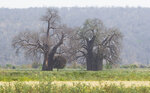 In this photo taken Wednesday, Sept. 20, 2017, two baobab trees grow alongside one another in a field in Chimanimani, Zimbabwe. Africa's ancient baobab, with it's distinctive swollen trunk and known as the