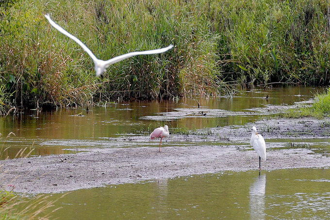 A roseate spoonbill, center, rests on a sandbar in a marshy area of Wilderness Park off Saline-Milan Road in Saline, Mich., on Tuesday, July 20, 2021. The bird typically lives in the Gulf Coast region. (Eric Seals/Detroit Free Press via AP)