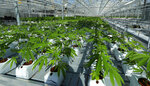 In this Sept. 25, 2018 photo, marijuana plants are shown growing in a massive tomato greenhouse being renovated to grow pot in Delta, British Columbia, that is operated by Pure Sunfarms, a joint venture between tomato grower Village Farms International, and a licensed medical marijuana producer, Emerald Health Therapeutics. On Oct. 17, 2018, Canada will become the second and largest country with a legal national marijuana marketplace. (AP Photo/Ted S. Warren)
