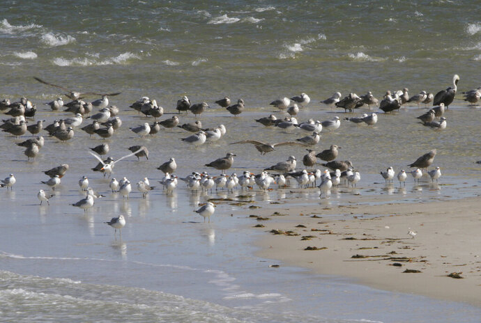 File - In this Jan. 7, 2011 file photograph, birds are grouped on the eastern tip of Horn Island in the Mississippi Sound out from Pascagoula, Miss. Mississippi Gov. Phil Bryant announced, Tuesday, Nov. 12, 2019, more than $53 million is earmarked for projects to help coastal communities recover from the 2010 BP oil spill. Money for the 15 projects is coming from civil and criminal penalties resulting from the spill and include $8 million to find and counter sources of coastal water pollution and $7 million to restore and create wetlands with dredged silt. ( James Edward Bates/The Sun Herald via AP, File)
