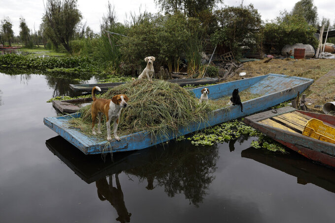 Dogs and a cat watch boats passing by on the canal from a parked boat amid the new coronavirus pandemic, in Xochimilco's chinampera farming zone, in Mexico City, Monday, Sept. 14, 2020. (AP Photo/Rebecca Blackwell)