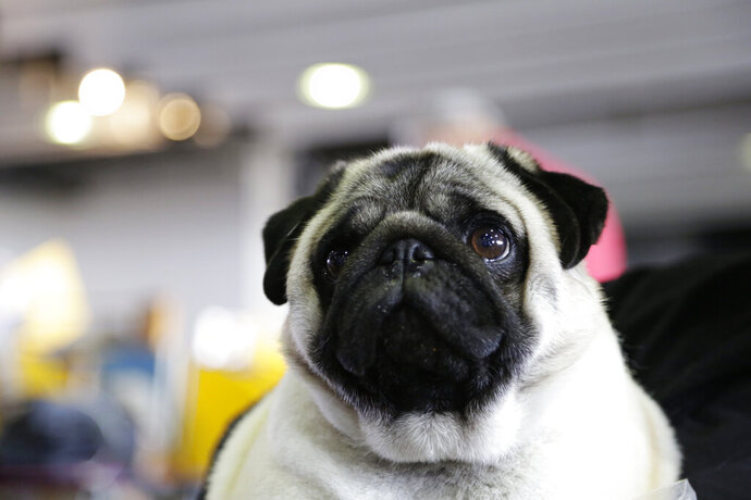 Biggie the pug poses for photos at the Westminster Kennel Club Dog Show, Monday, Feb. 11, 2019, in New York. (AP Photo/Nat Castaneda)