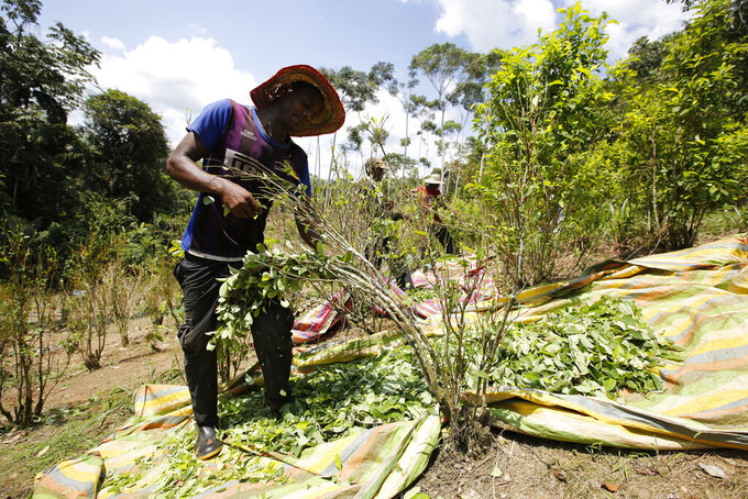 FILE - In this March 3, 2017 photo, a peasant harvests coca leaves in Puerto Bello, in the southern Colombia's state of Putumayo. The amount of land in Colombia being used to harvest coca, the plant used to make cocaine, ticked up again last year, continuing record highs despite a renewed campaign to manually eradicate the plant, new data from the White House said Thursday, March 5, 2020. (AP Photo/Fernando Vergara, File)