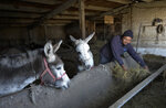 Adilet Kaliyev, Kanat Kaliyev's son feeds donkeys at a farm near his family house in Tash Bashat village, about 24 kilometers (15 miles) southeast of Bishkek, Kyrgyzstan, Saturday, Oct. 17, 2020. Kyrgyzstan, one of the poorest countries to emerge from the former Soviet Union, saw its president forced out by protesters earlier this month, but the political turmoil hasn't touched that village nestled in the scenic Ala-Too mountains where life follows centuries-old rites. (AP Photo/Vladimir Voronin)