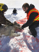 This Feb. 28, 2019 photo provided by the Ontario Ministry of Natural Resources and Forestry, the U.S. National Park Service and the National Parks of Lake Superior Foundation shows an Ontario wolf captured at Michipicoten Island in Ontario, Canada. Authorities have relocated four Canadian wolves to Isle Royale National Park in Michigan in an ongoing effort to restore the predator species on the Lake Superior island chain.   (Mike Allan/Ontario Ministry of Natural Resources and Forestry via AP)