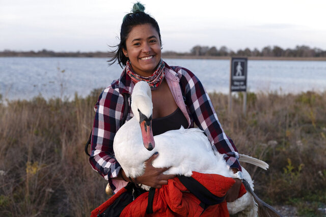 This Nov. 5, 2020 photo provided by Josh Spector shows Ariel Cordova-Rojas with Bae, a female mute swan, as the swan is rescued in the Jamaica Bay Wildlife Refuge, in the Queens borough of New York. Cordova-Rojas was assisted by a couple with a car who agreed to drive the swan and Cordova-Rojas to a nearby subway station. Later an employee of the Wild Bird Rescue met them at another subway station for transport to the organization's clinic on New York's Upper West Side. (Josh Spector via AP)