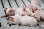 In this Oct. 31, 2018, photo, hogs rest in a pen in a concentrated animal feeding operation, or CAFO, on the Gary Sovereign farm, in Lawler, Iowa. Farmers say they're trying to reduce the smells.