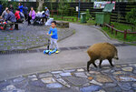 In this Jan. 13, 2019, photo, a wild boar scavenges for food while local residents watch at a Country Park in Hong Kong. Like many Asian communities, Hong Kong ushers in the astrological year of the pig. That's also good timing to discuss the financial center's contested relationship with its wild boar population. A growing population and encroaching urbanization have brought humans and wild pigs into increasing proximity, with the boars making frequent appearances on roadways, housing developments and even shopping centers. (AP Photo/Vincent Yu)
