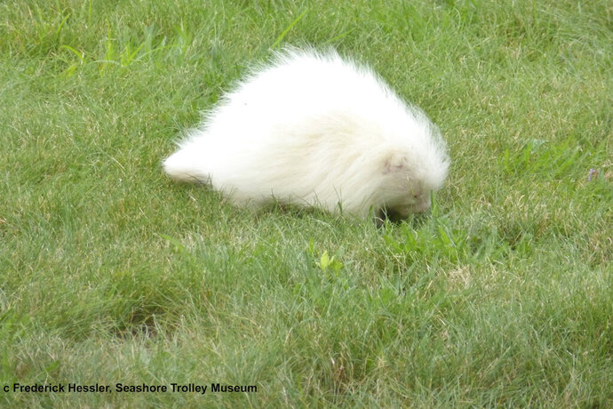 In this Tuesday, July 16, 2017 photo taken provided by the Seashore Trolley Museum, a rare albino porcupine waddles around near the Seashore Trolley Museum in Kennebunkport, Maine. The museum asked for help identifying the strange animal after it appeared on the grounds this week. (Fred Hessler/Seashore Trolley Museum via AP)