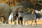 In this Oct, 27, 2019, photo, elephants and zebras feed on hay provided by the Feed Mana project in Mana Pools National Park, Zimbabwe. Wardens and wildlife lovers are trucking in food to help the distressed animals. (AP Photo/Tsvangirayi Mukwazhi)