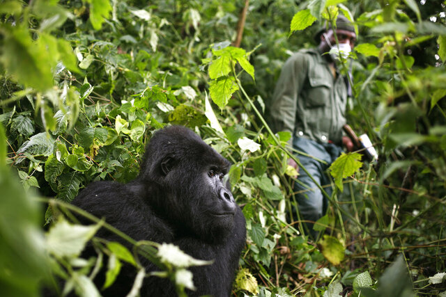 In this photo taken Dec. 11 2012, a park ranger wearing a mask walks past a mountain gorilla in the Virunga National Park in eastern Congo.  Congo's Virunga National Park, home to about a third of the world's mountain gorillas, has barred visitors until June 1 2020, citing