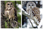 This combination of 2003 and 2006 photos shows a northern spotted owl, left, in the Deschutes National Forest near Camp Sherman, Ore., and a barred owl in East Burke, Vt. Barred owls are native to eastern North America but began moving West at the turn of the 20th century. Scientists believe they migrated to western Canada across the Great Plains in the early 1900s, using forests that popped up as people learned to manage wildfires and planted trees around farms. They arrived in Washington in 1973 and then moved south into Oregon and California. (AP Photo/Don Ryan, Steve Legge)
