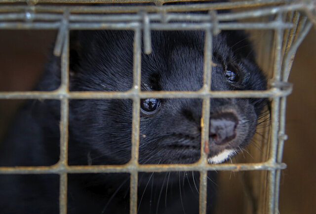 FILE - In this Dec. 6, 2012, file photo, minks look out of a cage at a fur farm in the village of Litusovo, northeast of Minsk, Belarus. Officials on Monday, Aug. 17, 2020, confirmed its first U.S. cases of mink infected with the coronavirus following outbreaks in Europe. Five infected mink have been identified at two farms in Utah, the Department of Agriculture announced. Testing began after the farms reported unusually high mortality rates among the small animals prized for their fur. (AP Photo/Sergei Grits, File)