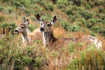 In this photo provided by the Wyoming Migration Initiative, a doe and her yearling fawn