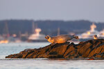 A seal lounges on rocks in Casco Bay, Thursday, July 30, 2020, off Portland, Maine. Seals are thriving off the northeast coast thanks to decades of protections. Many scientists believe the increased seal population is leading to more human encounters with white sharks, who prey on seals.  (AP Photo/Robert F. Bukaty)