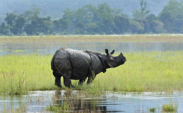 In this Saturday, July 8, 2017, file photo, a One horned Rhinos wades through flooded Kaziranga national park in Kaziranga, 250 kilometers (156 miles) east of Gauhati, India. More than a hundred animals, including 10 one-horn rhinoceroses, have died due to massive flooding at the famed Kaziranga game reserve in northeastern India, prompting Britain's Prince William and his wife, Kate Middleton, to express their concern in a letter to park authorities, officials said Saturday. (AP Photo/Anupam Nath, file)