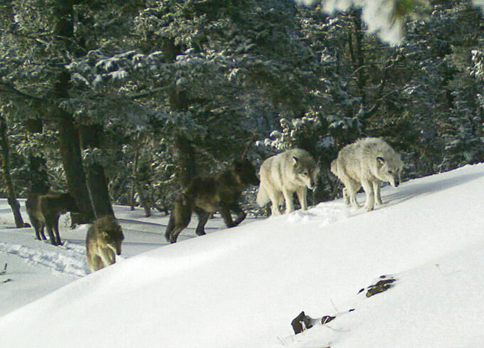 FILE - In this Feb. 1, 2017, file image provided the Oregon Department of Fish and Wildlife, a wolf pack is captured by a remote camera in Hells Canyon National Recreation Area in northeast Oregon near the Idaho border. Wildlife advocates pressed the Biden administration on Wednesday, May 26, 2021, to revive federal protections for gray wolves across the Northern Rockies after Republican lawmakers in Idaho and Montana made it much easier to kill the predators. (Oregon Department of Fish and Wildlife via AP, File)