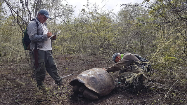 In this Jan. 25, 2020 photo released by Galapagos National Park shows park workers inspecting a tortoise near Wolf Volcano on Galapagos Islands, Ecuador. The National Park announced on Friday, Jan. 31, 2020 that an expedition to the foothills of the highest active volcano in the Galapagos Islands located a young female tortoise and she is a direct descendant of a giant tortoise species considered extinct. (Tui De Roy/Galapagos National Park via AP)