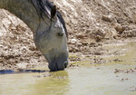 In this June 29, 2018 photo, a wild horse drinks from a watering hole outside Salt Lake City. Harsh drought conditions in parts of the American West are pushing wild horses to the brink and forcing extreme measures to protect them.  Federal land managers have begun emergency roundups in the deserts of western Utah and central Nevada. (AP Photo/Rick Bowmer)