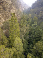 In this photo taken early January, 2020, and provided on Jan. 16, 2020, by the NSW National Parks and Wildlife Service, Wollemi pines thrive in a canyon in the Wollemi National Park, New South Wales, Australia. Specialist firefighters have saved the world's last remaining wild stand of a prehistoric tree from wildfires that razed forests west of Sydney. (NSW National Parks and Wildfire Service via AP)