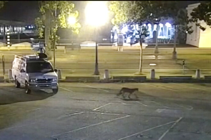 FILE - This Tuesday, June 16, 2020, file photo taken from surveillance camera video provided by KGO-TV/ABC7, shows a young mountain lion wandering through the station's parking lot in San Francisco. A young mountain lion that was captured last month after roaming the streets of San Francisco and then released into a wilderness preserve was found dead Friday, July 3, 2020, on the shoulder of a highway in Northern California, authorities said. (KGO-TV/ABC7 via AP, File)
