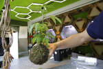 In this Thursday, June 6, 2019 photo, a shop assistant holds a Kokedama moss ball cannabis light plant at a cannabis light store in Milan, Italy. It's been called Italy's ''Green Gold Rush,'' a flourishing business around light marijuana that has created 15,000 jobs and an estimated 150 million euros worth of annual revenues in under three years.  But the budding sector is facing a political and judicial buzzkill. (AP Photo/Luca Bruno)