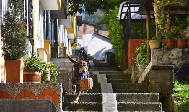 "Eros carries a basket of bread from the El Porvenir mini-market as he makes a delivery on his own in Medellin, Colombia, Tuesday, July 7, 2020. The eight-year-old chocolate Labrador remembers the names of customers who have previously rewarded him with treats, and with some practice, he has learned to go to their houses on his own. ""He helps us to maintain social distancing,"" said Eros' owner Maria Natividad Botero, amid the COVID-19 pandemic. (AP Photo/Luis Benavides)"