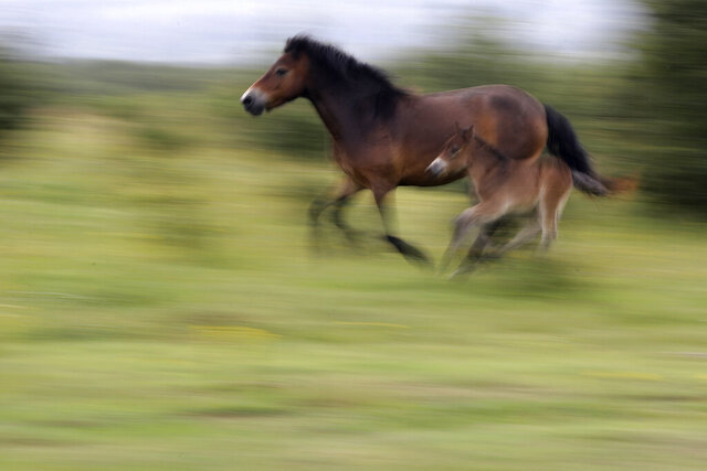 Wild horses gallop across a meadow at a wildlife sanctuary in Milovice, Czech Republic, Friday, July 17, 2020. Wild horses, bison and other big-hoofed animals once roamed freely in much of Europe. Now they are transforming a former military base outside the Czech capital in an ambitious project to improve biodiversity. Where occupying Soviet troops once held exercises, massive bovines called tauros and other heavy beasts now munch on the invasive plants that took over the base years ago. (AP Photo/Petr David Josek)