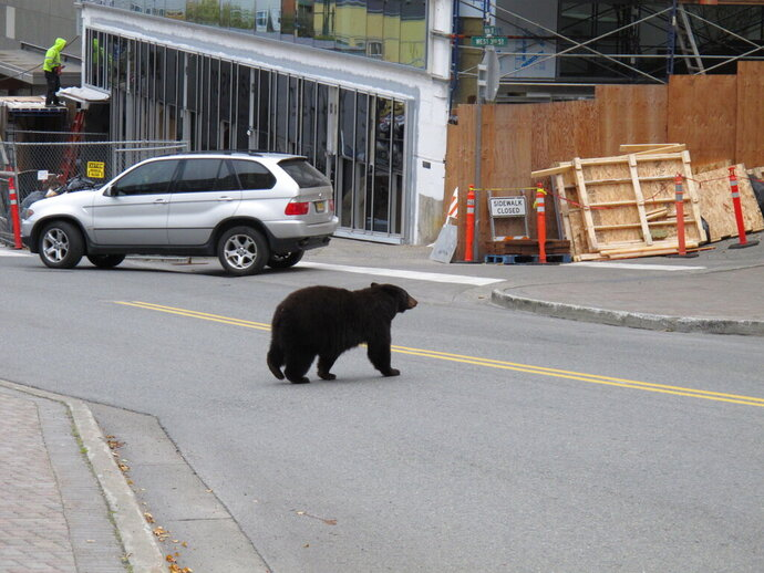 FILE - In this Oct. 4, 2018, file photo, a black bear saunters across a busy street in downtown Juneau, Alaska. A larger than normal number of young bears and dwindling natural food supply for them are forcing the animals to head for Juneau's garbage with unusual frequency, a wildlife official said. KTOO Public Media reports that a poor berry crop and lackluster salmon runs mean more bears are looking for food among the city's trash. (AP Photo/Becky Bohrer, File)
