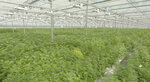 This June 2018 photo provided by Tilray shows their subsidiary High Park Farms facility, a 13 acre greenhouse, in Enniskillen, Canada. Another big first for the marijuana industry is in the books: A major Canadian grower, processor and distributor has completed an initial public stock offering in the United States, raising $153 million, just as Canada prepares to legalize the drug nationwide. British Columbia-based Tilray Inc.'s shares began trading Thursday, July 19, 2018, on the Nasdaq stock exchange, initially priced at $17. It quickly jumped to more than $21. (Tilray via AP)