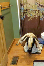 In this Friday, Oct. 4, 2019 photo, a goat sits in the bathroom of a home in Sullivan Township, Ohio. The goat named