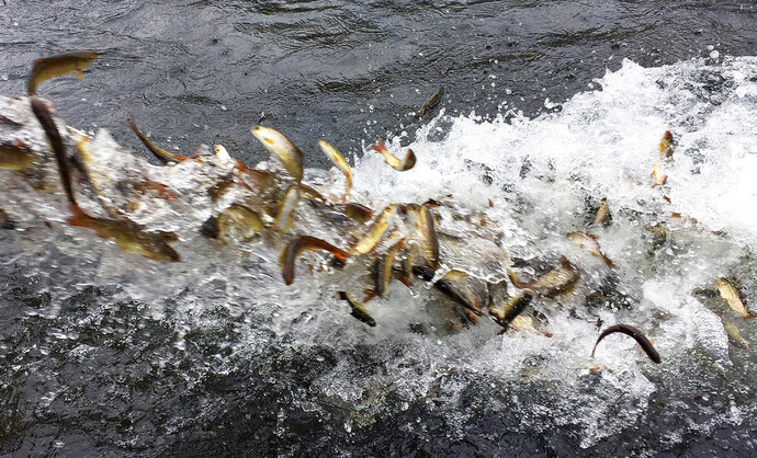 FILE - In this March 9, 2017, file photo, hundreds of juvenile coho salmon are released into the Lostine River in northeastern Oregon. The U.S. released its annual report about the health of American fisheries on Thursday, May 17, 2018. One stock of Coho salmon was removed from the overfishing list, but another stock of the same fish was added to the same list. (AP Photo/Gillian Flaccus, File)