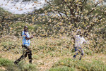 In this photo taken Thursday, Jan. 16, 2020, two Samburu men who work for a county disaster team identifying the location of the locusts, are surrounded by a swarm of desert locusts filling the air, near the village of Sissia, in Samburu county, Kenya. The most serious outbreak of desert locusts in 25 years is spreading across East Africa and posing an unprecedented threat to food security in some of the world's most vulnerable countries, authorities say, with unusual climate conditions partly to blame. (AP Photo/Patrick Ngugi)