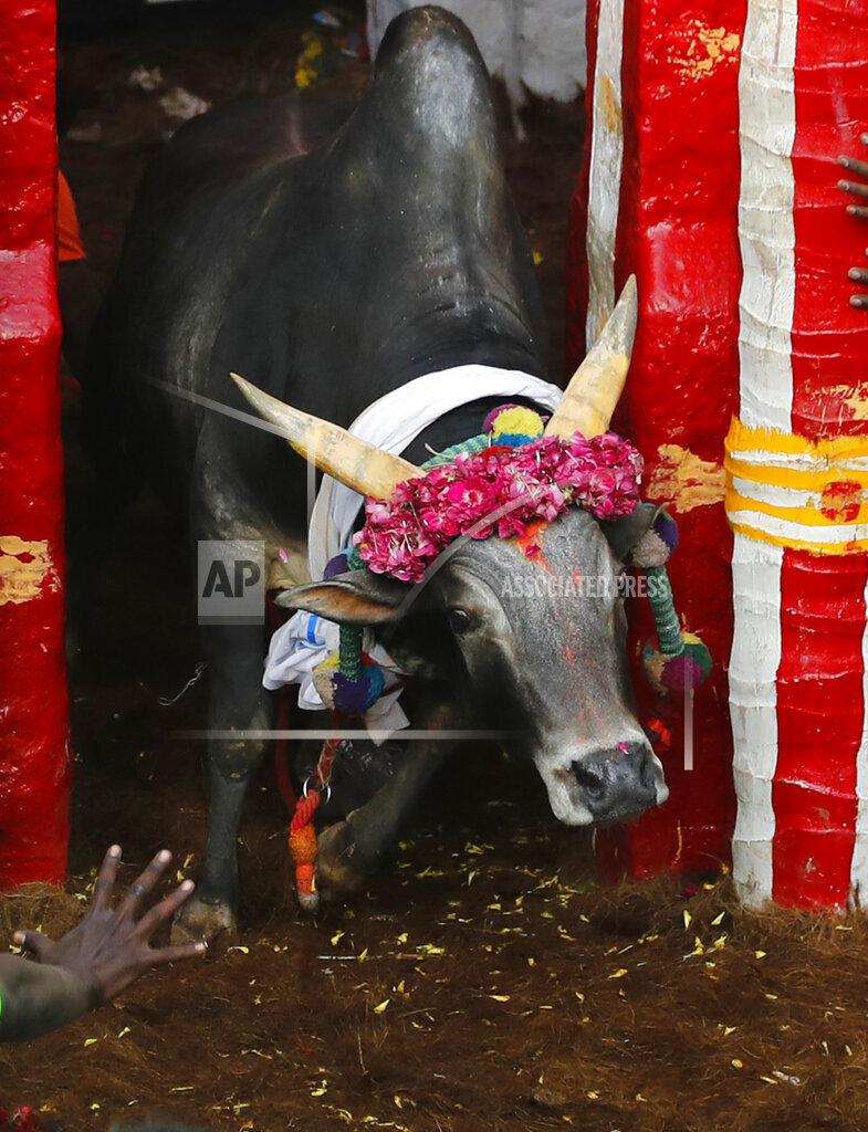 India Bull Taming Photo Gallery