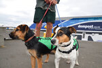 This undated photo released by New Zealand Department of Conservation (DOC), shows Kowhai, left, and Flint at a Wellington harbor waterfront. Flint, the rat-detecting dog, was on a remote island between New Zealand and Antarctica as part of a mission involving the military when a sealion charged at him. He got spooked and ran away, and couldn't be found by a military helicopter. The team was forced to leave him behind on Wednesday, Nov. 27, 2019. But he was rescued on Friday, Nov. 29 after a helicopter crew flew to the island and found he'd walked back to the base. (New Zealand Department of Conservation via AP)