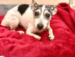 This photo provided by Humane Animal Rescue shows a toy fox terrier named