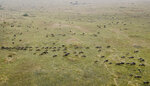 The annual migration of wildebeest from the Serengeti National park in Tanzania to the Maasai Mara national reserve in Kenya is seen from a drone in the Maasai Mara Wednesday, July 22, 2020. Travel restrictions kept tourists away for the annual Great Wildebeest Migration in Kenya's Maasai Mara National Reserve and only a handful of guides and park wardens were there to watch thousands of wildebeest make their famous trek in search of new grazing pastures(AP Photo/Joe Mwihia)
