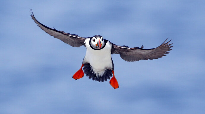 FILE--In this Aug. 1, 2014, file photo, an Atlantic puffin comes in for a landing on Eastern Egg Rock, a small island off the coast of Maine.  The National Audubon Society is getting involved in a lawsuit over the future of a national monument located in the ocean off New England because of the area's importance to birds. Fishing groups sued in federal court against creation of Northeast Canyons and Seamounts Marine National Monument by former President Barack Obama in 2016. Audubon says the nearly 5,000-square-mile area of ocean is especially important to Maine's vulnerable Atlantic puffins. (AP Photo/Robert F. Bukaty, File)
