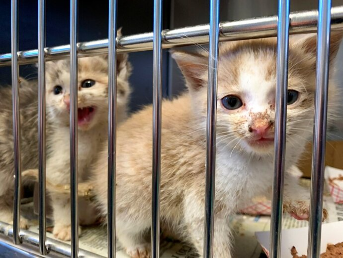 This photo provided by Pennsylvania SPCA shows two kittens that were among the 98 animals rescued from a self-proclaimed rescue organization in Lebanon, Pa., County on Wednesday, Oct.  23, 2019. The Pennsylvania Society for the Prevention of Cruelty to Animals says it rescued 83 cats and 10 dogs from unsafe conditions at a self-proclaimed rescue facility.  (Pennsylvania SPCA via AP)