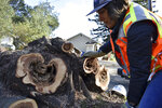 Biologist Jessica Gonzalez marks a tree stump where a San Francisco dusky-footed woodrat was found after workers cut down the tree as part of fire prevention efforts along a crowded highway corridor on Wednesday, Nov. 20, 2019, near Redwood Estates, Calif. (AP Photo/Matthew Brown)