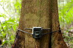 A camera trap installed by biologist Claudio Monteza is fastened to a tree just off the forest floor in San Lorenzo, Panama, Tuesday, April 6, 2021, amid the new coronavirus pandemic. Monteza hopes his series of cameras will provide insights into which animal species steer clear of highways and which ones are more apt to check them out. (AP Photo/Arnulfo Franco)