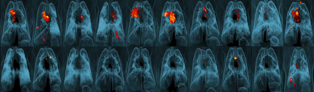 This image provided by the University of Pittsburgh School of Medicine and the National Institute of Allergy and Infectious Diseases shows a collection of lung scans of 20 monkeys who were exposed to tuberculosis after receiving different forms of a TB vaccine. Monkeys in the top row received skin-deep shots, and those in the bottom row were given intravenous injections. The intravenous vaccine protected far better, as shown by TB-caused inflammation seen in red and yellow. (JoAnne Flynn, Alexander White and Pauline Maiello/Pitt; Mario Roederer/NIAID via AP)