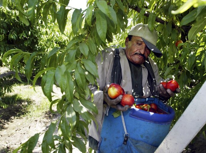 FILE - In this May 13, 2004, file photo, worker Roberto Rosiles picks fruit at a Sand Hills Farms orchard in Arvin, Calif. Rosiles was one of about 140 workers who were told by supervisors to flee the orchard after pesticide fumes from an adjacent field sickened 19 workers. The nation's most productive agricultural state moved Wednesday, Oct. 9, 2019, to ban chlorpyrifos a controversial pesticide widely used to control a range of insects but blamed for harming brain development in babies. (AP Photo/Damian Dovarganes, File)